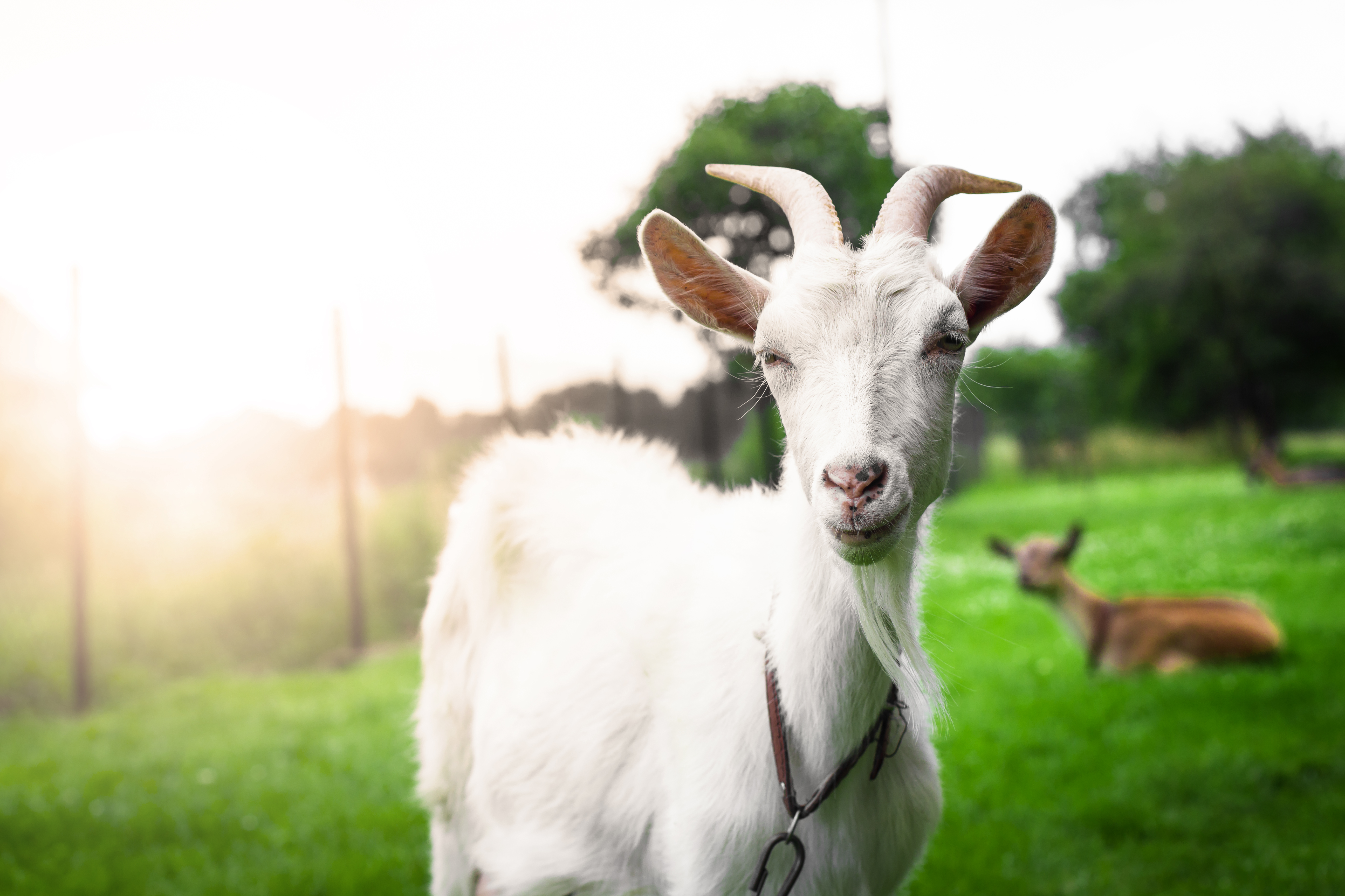 Gorgeous white goat's portrait on a sunset background.