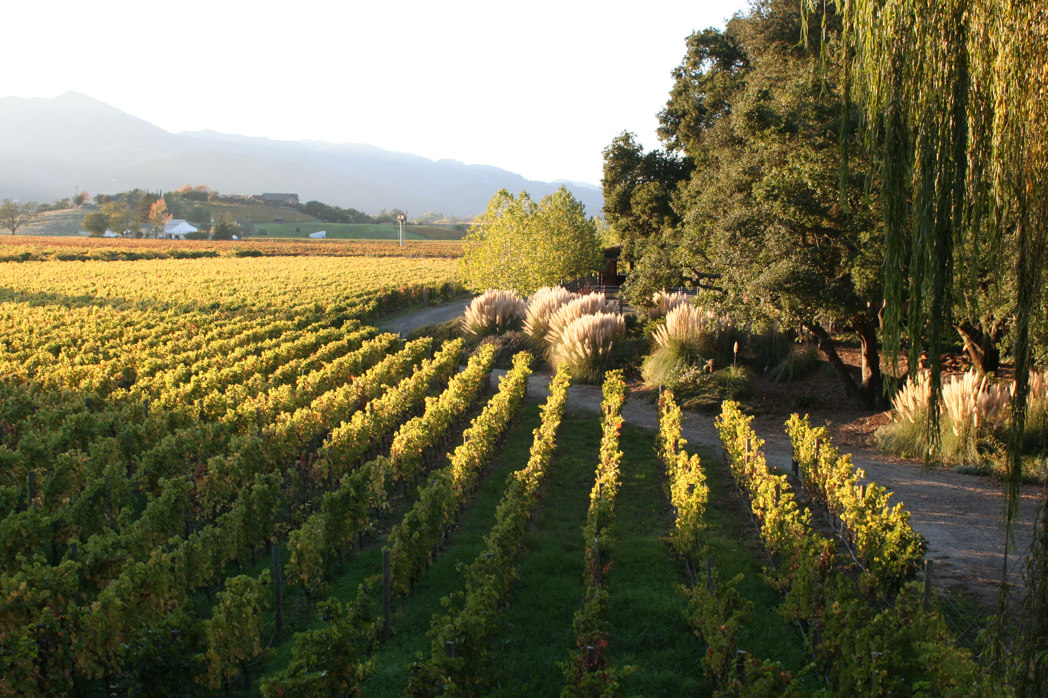 A beautiful vineyard cast in sunlight near a patch of trees and bushes separated by a narrow pathway with mountains in the background.