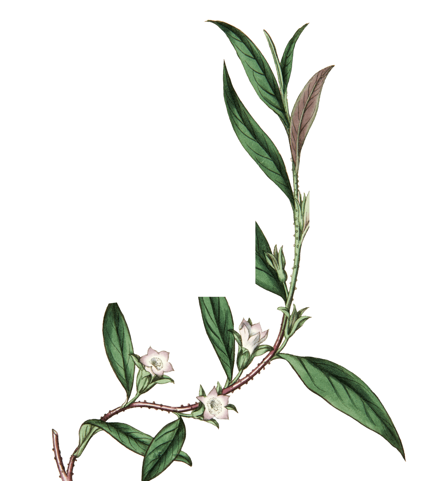 Decorative botanical image