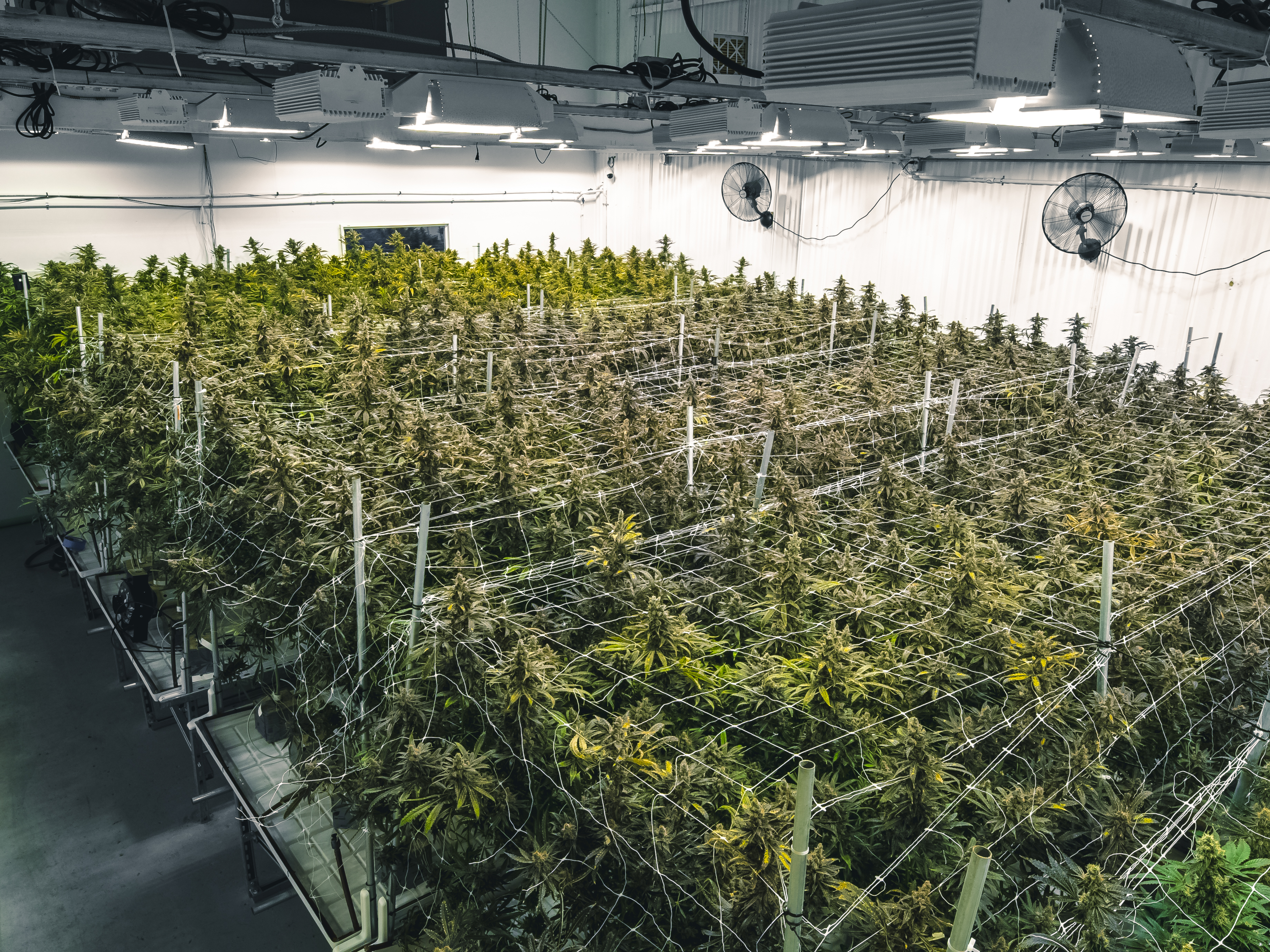 Facility for cannabis cultivation under indoor lights with colorful green leafy buds on tall branches
